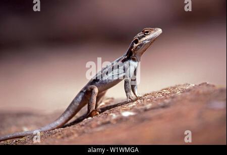 Barrier Range Dragon Ctenophorus mirrityana Mutawintji National Park NSW Australia - Stock Image