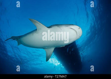 Tiger Shark from below, with Surface and Boat above. Tiger Beach, Bahamas - Stock Image