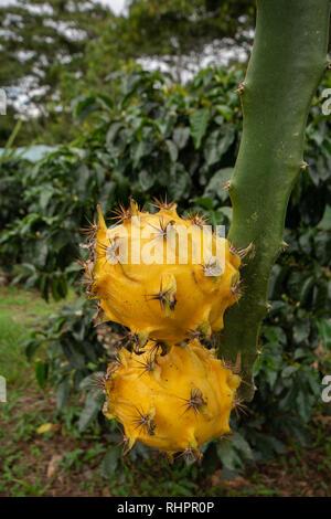 Two Yellow Dragon Fruit or Pitaya (Pitahaya) growing on Dragon Fruit Cactus - Stock Image