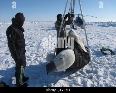 Biologists weigh a sedated polar bear during the annual polar bear study on the Chukchi Sea April 22, 2017 in Alaska. - Stock Image