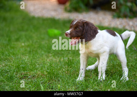 A happy 10 week old English Springer spaniel puppy playing in the garden with liver markings. - Stock Image