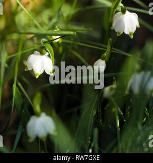 Spring Snowflake Flowers, Leucojum vernum - Stock Image