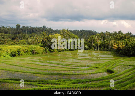 Rice fields growing in the popular tourist destination of Bali  Indonesia. - Stock Image