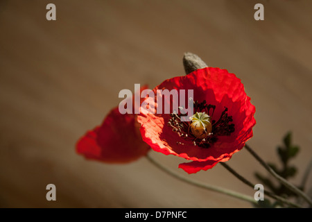 Artificial fabric red poppy flowers, muted background - Stock Image