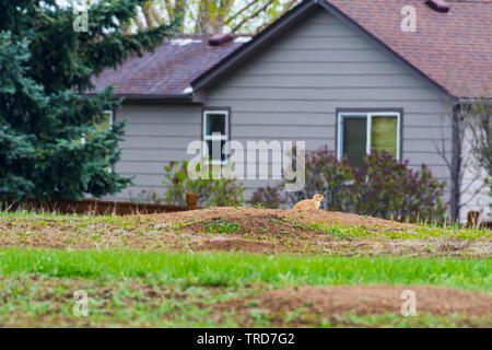 Gunnison's prairie dog (Cynomys gunnisoni) and burrow near suburban home, Castle Rock Colorado US. Photo taken in May. - Stock Image