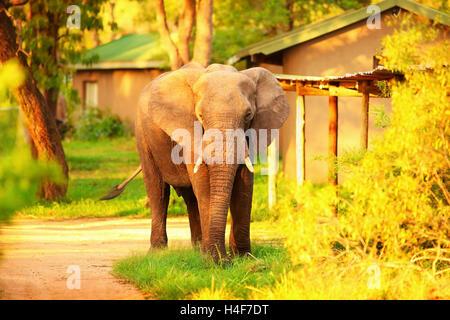 Beautiful big wild elephant, animal in mild yellow sunset light, safari game drive, Eco travel and tourism, Kruger - Stock Image