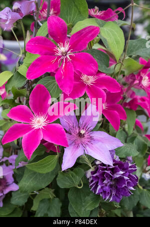 Display of Clematis flowers featuring pink coloured Cleamatis Boulevard 'Acropolis'. - Stock Image
