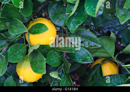 Ripe oranges on a tree after a rain storm. - Stock Image