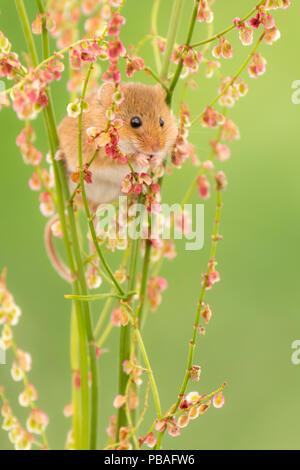 Harvest mouse (Micromys minutus) feeding on Sorrel (Rumex acetosa), Devon, England, UK. May. Captive - Stock Image