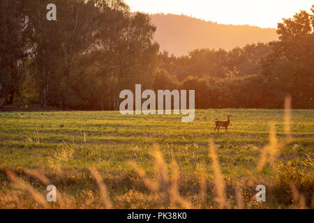 Summer landscape by sunset. Green field with deer. - Stock Image