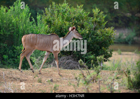 Female Nyala on the river bank of the  Lower Sabie Rive  Kruger Park , South Africa - Stock Image