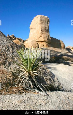 Rock Climb Joshua Tree Big Rocks Yucca Brevifolia Mojave Desert Joshua Tree National Park California - Stock Image