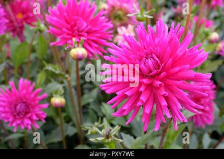 Dahlia 'Purple Gem' semi-cactus purple flowers - Stock Image
