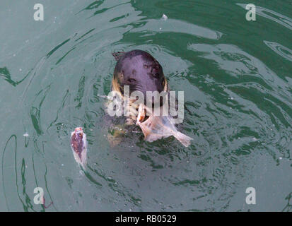 Union Hall, West Cork, Ireland, January 05th 2019. The Union Hall boat skippers may be worried about Brexit but the local seals on the fish quay have no concerns. They are doing very well of the scraps from the boats thank you very much.  Credit: aphperspective/Alamy Live News - Stock Image