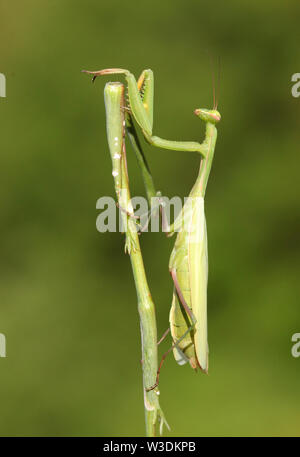 Praying Mantis insect in nature - Stock Image