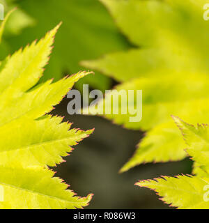 Close-up of young leaves of what is likely to be the Full Moon Maple / Acer shirasawanum - a member of the Maple / Acer family - possibly A. japonicum - Stock Image
