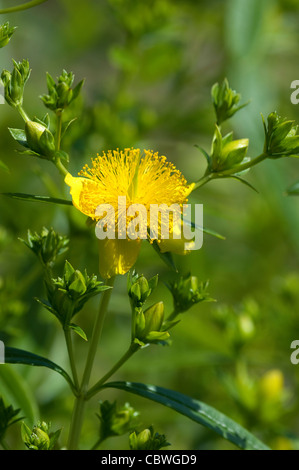 Shrubby St. Johns Wort, Cinnamon Stick (Hypericum prolificum), flower and buds. - Stock Image