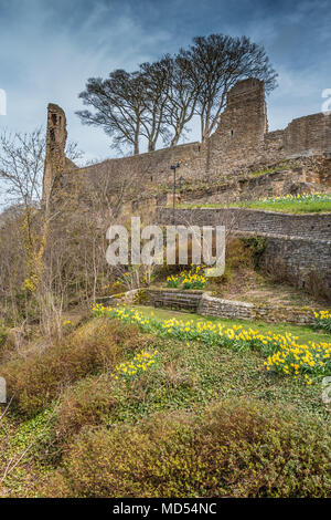 Flowering daffodils below the ruins of the 12th century castle at Barnard Castle, Teesdale, UK - Stock Image