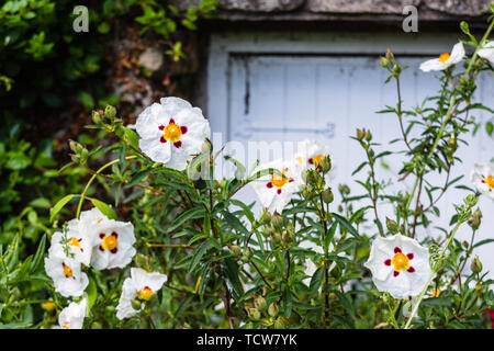 The white, yellow and red flowers of Gum rockrose Cistus ladanifer commonly known as laudanum, labdanum, common gum cistus, and brown-eyed rockrose - Stock Image