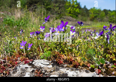 Viola tricolor or Johnny Jump up, in Rambergoya, an island in the Oslo Fjord Norway - Stock Image