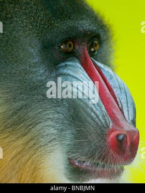 Mandrill baboon - Stock Image