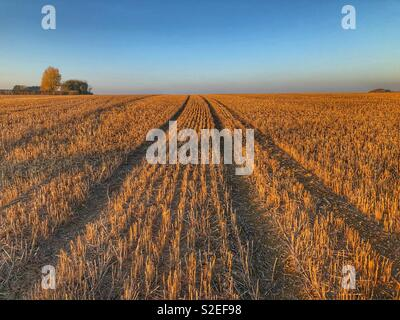 Field of maize stubble, late afternoon light, Petherton, Somerset, UK - Stock Image