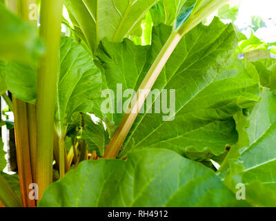 Rhubarb Stems: Stocks of green and red rhubarb framed by their large green leaves. - Stock Image