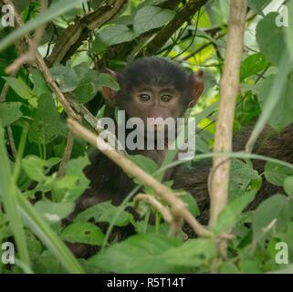 Baby olive baboon (Papio anubis), Queen Elizabeth National Park, Uganda, Africa - Stock Image