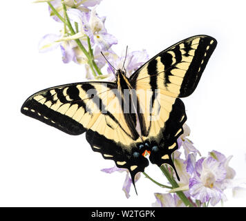 A Western Tiger Swallowtail (Papilio rutulus) on a flower-  top view with wings spread - Stock Image