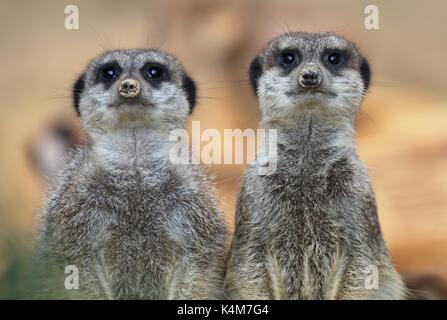 Meerkats (Suricata suricatta), captive - Stock Image