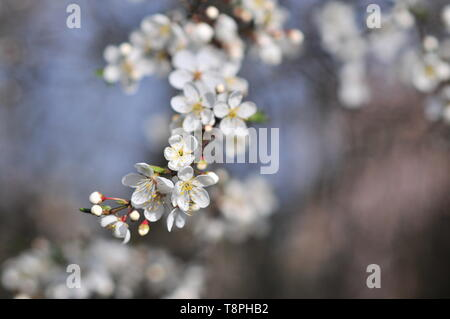 Close-up of white apple blossom flowers. Malus domestica - Stock Image