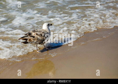 At the sea shore in Kolobrzeg wild birds can be observed. - Stock Image