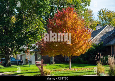 Acer rubrum, red maple, A. rubrum, in a suburban neighborhood, turned orange and red during autumn in Kansas, USA. - Stock Image