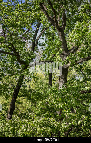 Oak Tree with Tree Limbs Forming Letter A - Stock Image