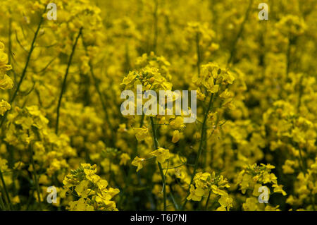 Yellow flowering rape seed UK - Stock Image