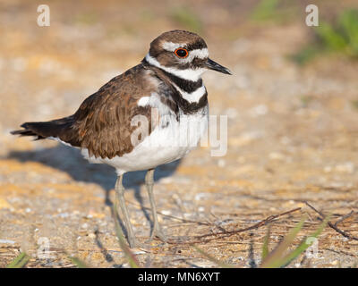 Killdeer - Stock Image