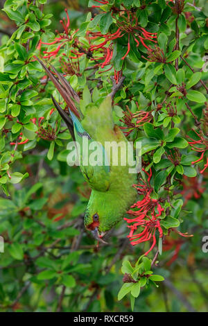 Slender-billed Parakeet (Enicognathus leptorhynchus) perched on a branch in Chile. - Stock Image