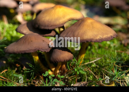 Group of a few wild mushrooms grows during autumn season. - Stock Image