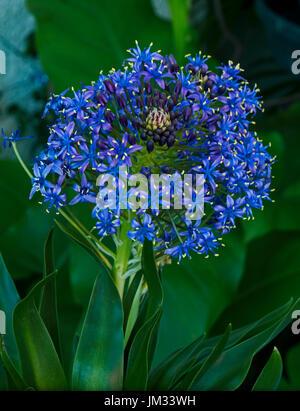 Scilla peruviana in flower - Stock Image