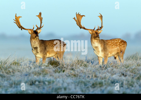 Fallow Deer (Dama dama), Two Bucks at Dawn, during the Rut, Royal Deer Park, Klampenborg, Copenhagen, Sjaelland, - Stock Image