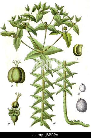 Euphorbia lathyris Sturm33 - Stock Image