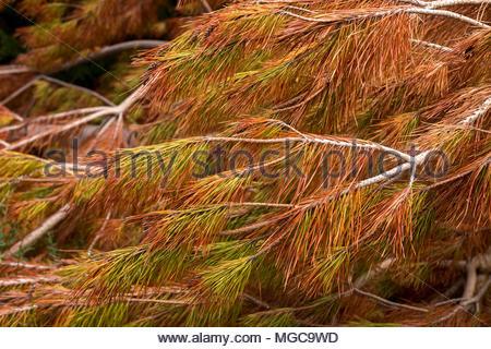 Background colourful needles of cut pine tree, Canterbury, New Zealand - Stock Image