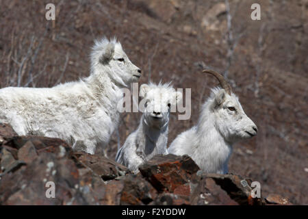 Dall sheep mountain goats wild Canada Yukon - Stock Image