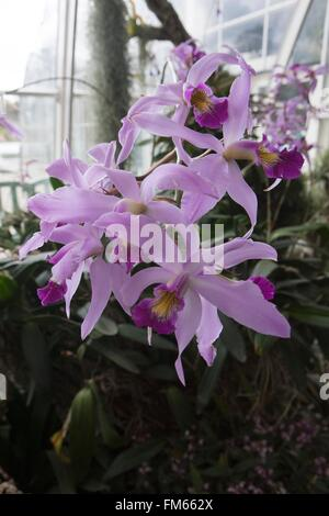 Laelia  anceps is a small genus of the orchid family, growing in the Glasshouse at RHS Wisley. - Stock Image