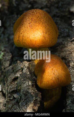 Close up on two young golden mushrooms (Gymnopilus suberis) growing on the crevices of a dead cork tree branch. Arrabida mountains, Portugal. - Stock Image