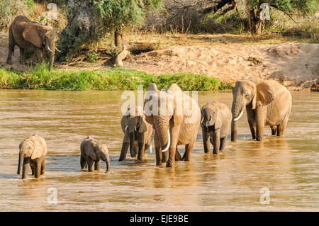 A herd of elephants crossing the Ewaso N'giro River in Samburu, Kenya. - Stock Image