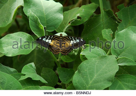 Clipper butterfly Parthenos sylvia - Stock Image