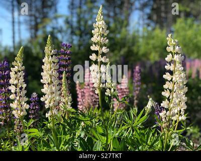 Lupine flowers in northern Wisconsin - Stock Image