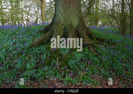 Bluebells growing at the foot of a tree - Stock Image
