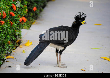 Side View of a Male Bare-faced Curassow, Crax fasciolata, Pantanal, Mato Grosso, Brazil, South America - Stock Image